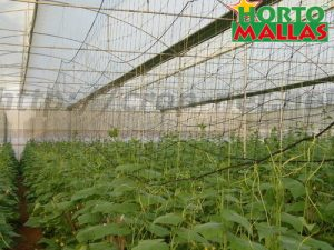 crops in greenhouse used vertical support system